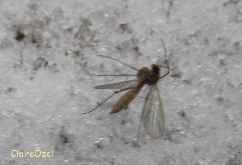 Fly on snow